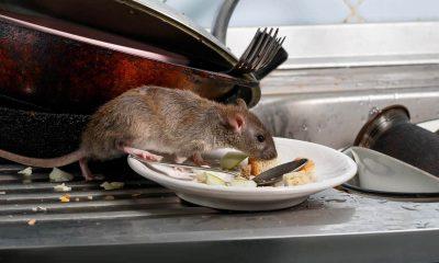 Ratas Virus Portada